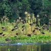 Migratory birds visiting at Gossihat Birds Observatory in North Bengal